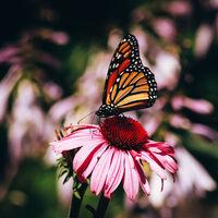 Mariposas monarcas comienzan a verse en México: llegan las primeras de la épica travesía del norte del continente hasta Michoacán