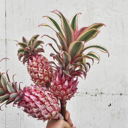 Pink pineapple2