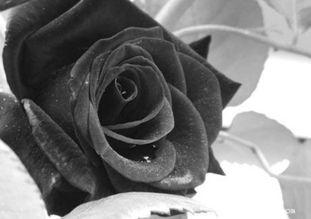 Rosas Negras para Sinde