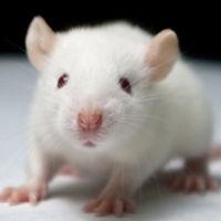 ¿Qué ocurre cuando implantas células del cerebro humano en el cerebro de un ratón?