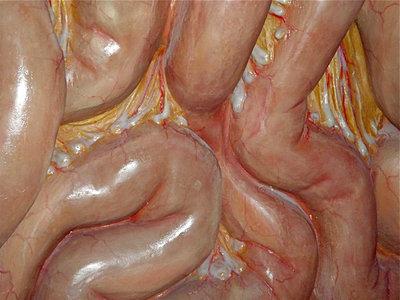 Mesenterio, el nuevo órgano descubierto en el cuerpo humano