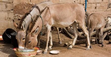 Usan burros como puntos de acceso WiFi en un parque temático israelí