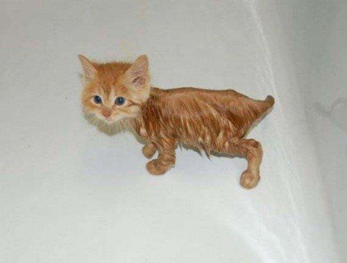 ¿Por qué los gatos odian mojarse?