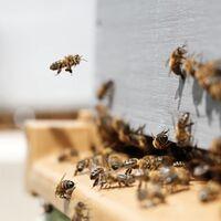 Unos apicultores franceses no sabían por qué sus abejas producían miel azul: estaban comiendo M&Ms de una fábrica cercana