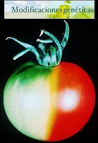 ¿Los alimentos transgénicos tienen una fama injusta?