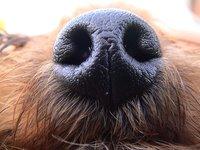 Ese apéndice sobrenatural que es nuestra nariz (II)