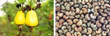 Anacardo o Marañón, un interesante fruto