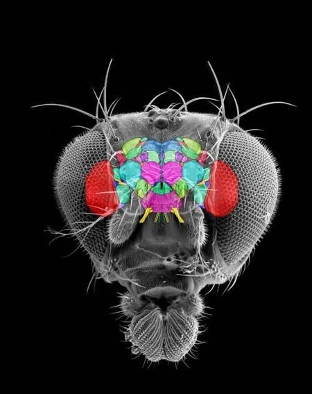 Cerebro de la Drosophila melanogaster