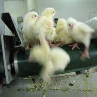Francia se apunta el tanto animalista: prohíbida la matanza de pollitos macho con trituradoras
