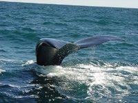 Comenzó la temporada de ballenas en el sur argentino