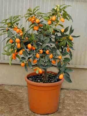 Plantas de interior: kunkuat