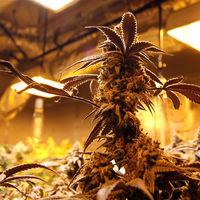 El plan de Macedonia del Norte para convertirse en la gran potencia europea de la marihuana
