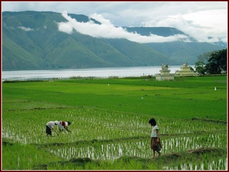 arrozales-samosir-lago-toba-lake-rice-field22.jpg