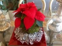 Hazlo tú mismo: Kokedamas de poinsettia, un centro de Navidad estilo nipón