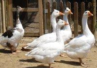 Se prohibe el consumo de foie gras en California
