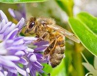 La radiación de los móviles perturba a las abejas