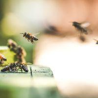 La Unión Europea acaba de tomar una decisión clave para el futuro de las abejas: prohíbe definitivamente los neonicotinoides