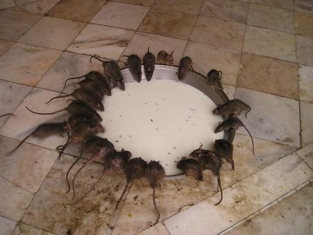 Guerra, canibalismo e infanticidio: las soluciones que encuentran las ratas para sobrevivir en época COVID-19