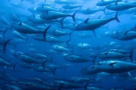 Ya está aquí el atún rojo: qué tiene de especial, cómo distinguir sus partes y 5 recetas para sacarle todo el partido