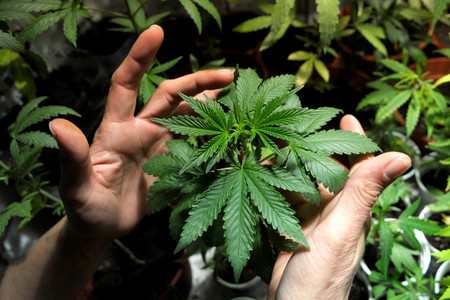 Licenciado en Ciencias de la Marihuana: el boom de los estudios universitarios sobre el cannabis