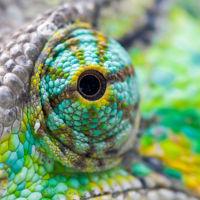 Un estudio demuestra que los ojos de un camaleón no son tan independientes como creíamos