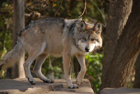 """Una hembra de lobo mexicano falleció, mientras la especie dejó de considerarse """"probablemente extinto en el medio silvestre"""""""