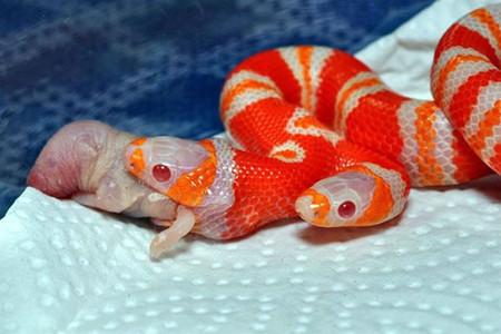 [Vídeo] Cómo alimentar a una serpiente de dos cabezas