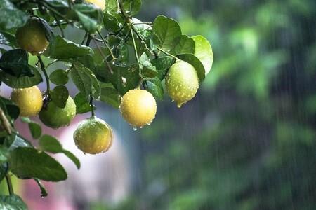 Beneficios Del Agua De Tuna Con Limon Reduce Niveles Azucar Diabetes