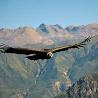 La alucinante anatomía del cóndor andino: sólo aletea un 1% del tiempo que pasa en el aire