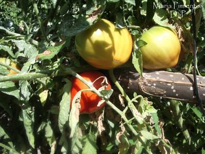Tomates ecológicos en Coín