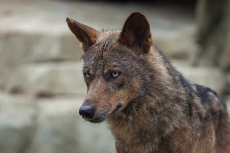 El Gobierno quiere prohibir la caza del lobo, los ganaderos aseguran que los que están en peligro de extinción son ellos: estos son sus argumentos