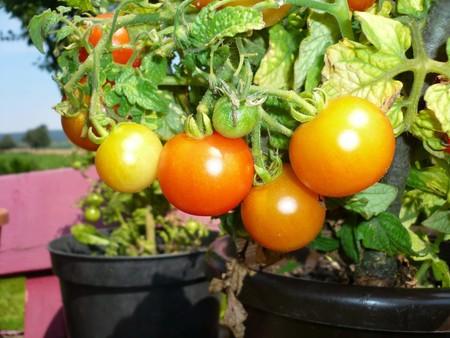 Maceta Tomate