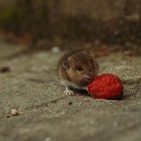 Los ratones neoyorquinos han evolucionado para comer comida chatarra