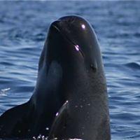 La vaquita marina, habitante del Mar de Cortés, al borde de la extinción