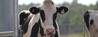 Nueve millones de vacas proceden únicamente de dos toros. Y eso es un problema para la industria