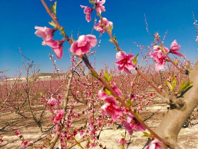 Fiesta de la floración Cieza Murcia