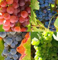 El vino aumenta su graduación alcohólica debido a la subida de las temperaturas