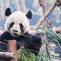 La dieta más voraz y restrictiva: la del Panda