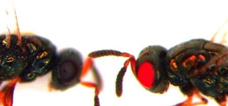Unos científicos crean estas hormigas de ojos rojos gracias a CRISPR