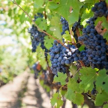 La producción de vinos de Burdeos cae un 40 %: es la peor cosecha desde 1945 (y a España le viene fetén)