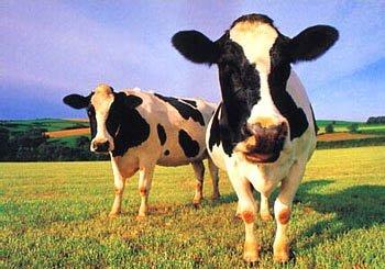 Pon una vaca en tu depósito