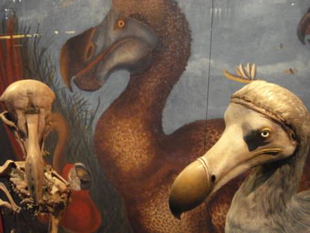 Los dodos no eran tan tontos como se creía