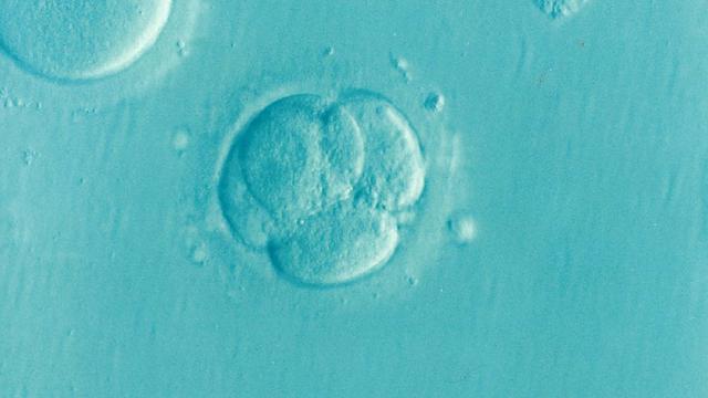 El límite de 14 días después de la fertilización debería ampliarse en experimentos con embriones humanos, según bioeticistas