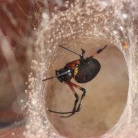 No temas a las arañas: raramente te van a picar (ni siquiera si es una viuda negra)