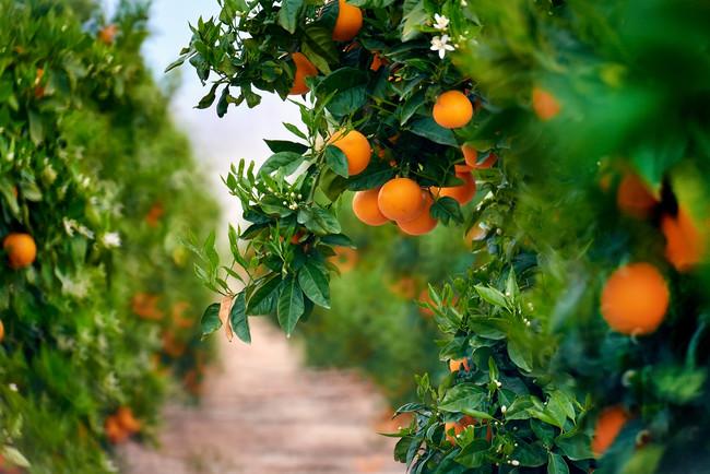 naranjas-cítricos-vitaminas