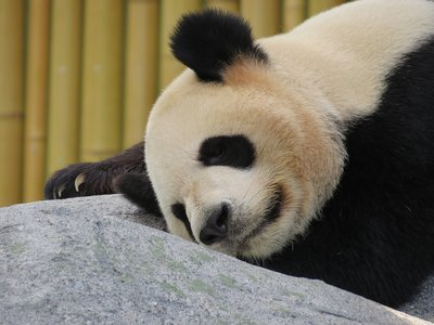 La razón de que el panda sea blanco y negro (único entre mamíferos)