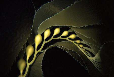 Bph Giant Kelp