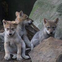 Hay nuevos cachorros de lobo gris mexicano en el zoológico de Chapultepec en CDMX: puedes ayudar a elegir los nombres de los lobitos