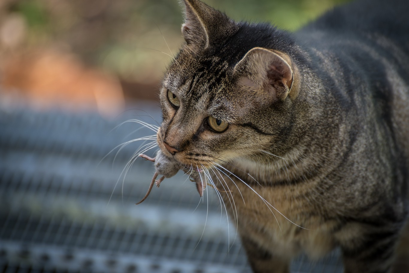 los gatos se enferman por comer ratones
