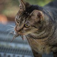Australia está exterminando millones de gatos en su territorio. Algunos extranjeros no lo llevan nada bien
